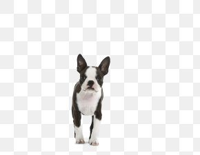 Small Dog - Boston Terrier Puppy Dog Breed Non-sporting Group Royal Canin PNG
