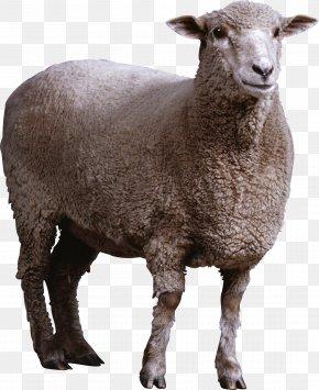 Sheep Image - Sheep Goat PNG