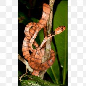 Snake - Boa Constrictor Snake Stenophis Animal Lycodryas Citrinus PNG
