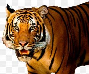 Tiger - Lion Siberian Tiger Felidae PNG