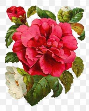 Perennial Plant Geranium - Watercolor Pink Flowers PNG