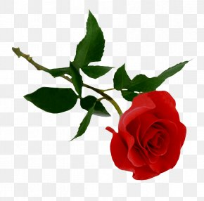 Rose Image Picture Download - Rose PNG