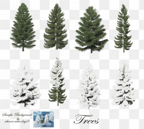 Fir-Tree Free Image - Pine Trees (Rookie Read-About Science Araucaria Columnaris Scots Pine Conifers PNG