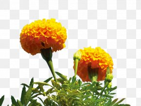 Yellow Marigold Flower - Mexican Marigold Flower PNG