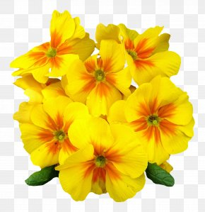 Primrose Flower - Flower Petal Clip Art PNG