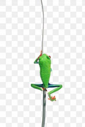 Cartoon Frog - Frog Animal Drawing PNG