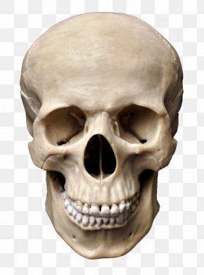Skull - Skull Human Skeleton Stock Photography Homo Sapiens Bone PNG