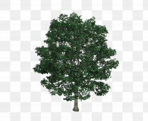 Bodhi Tree Tree Material - Tilia Platyphyllos Tree Drawing Royalty-free Illustration PNG