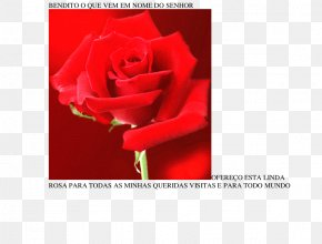 Rose - Garden Roses Greeting & Note Cards Cut Flowers Petal PNG