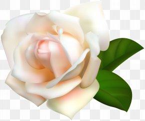 White Rose Transparent Image - Garden Roses Centifolia Roses Pink Clip Art PNG