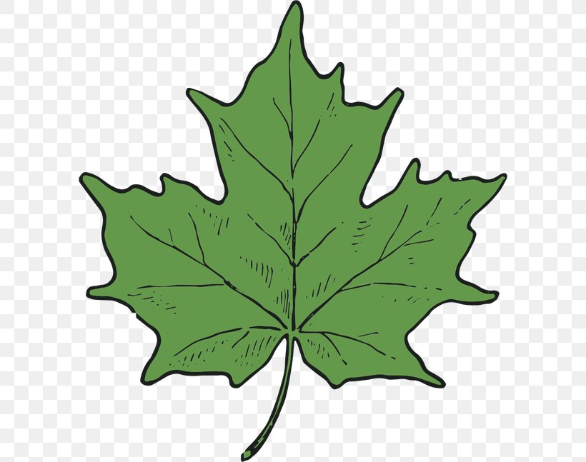 Maple Leaf Tree Plant Stem, PNG, 600x647px, Leaf, Maple, Maple Leaf, Plant, Plant Stem Download Free