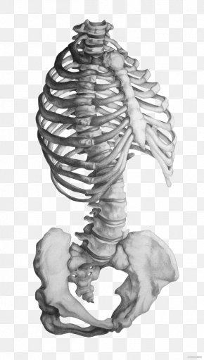 Gray Sketch Skeleton - Rhode Island School Of Design Anatomy Human Skeleton Drawing PNG