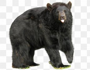 Black Big Bear - American Black Bear No Bears Big Black Bear PNG
