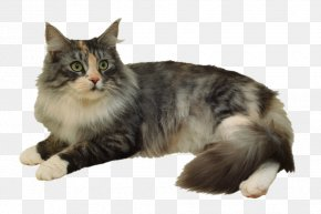 Cat Toys - Siberian Cat Ragdoll American Wirehair Norwegian Forest Cat Stock Photography PNG