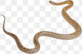 Small Snake - Sidewinder Corn Snake Snakes Boa Constrictor Vertebrate PNG