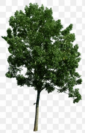 Tree Corner - Common Fig Weeping Fig Tree Clip Art PNG