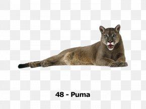 Lion - Cougar Lion Cat Felidae Tiger PNG