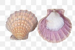 SEA SHELL - Clam Seashell Cockle Oyster Mussel PNG