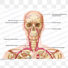 Human Body Anatomy - Supratrochlear Artery Head And Neck Anatomy Vein Human Body PNG