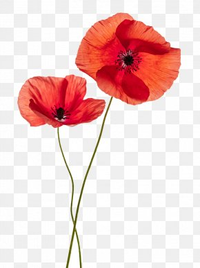 Red Flower Pattern - Common Poppy Flower Stock Photography Remembrance Poppy PNG