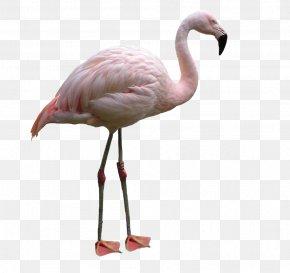 Flamingo - Water Bird Flamingo Lovebird PNG