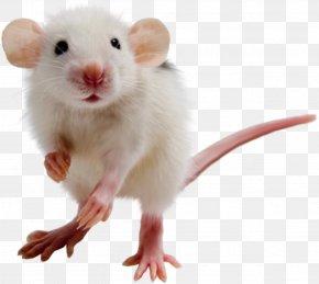 Mouse, Rat Image - Rat Mouse Gerbil Hamster PNG