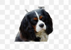 Yorkie - Cavalier King Charles Spaniel Puppy Dog Breed PNG