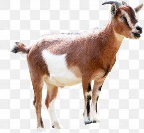 Goat - Goat Milking Animal Sales PNG