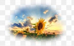 Sunflower Oil - 1080p High-definition Television Desktop Wallpaper High-definition Video PNG