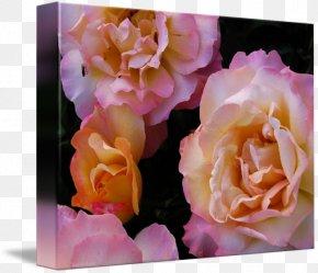 Peach Rosette - Garden Roses Cabbage Rose Floribunda Floral Design Flower PNG