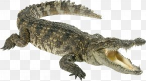 Crocodile - Crocodiles Chinese Alligator PNG
