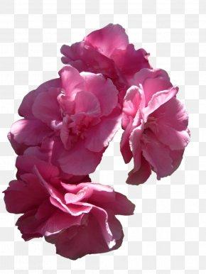 Pink Flowers - Pink Flowers Rose Pink Flowers PNG