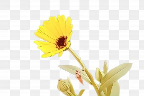 Perennial Plant Daisy - Blossom Background PNG