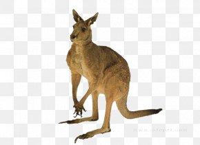 Kangaroo - Red Kangaroo Australia Tail Quokka PNG