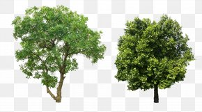 Eucalyptus And Camphor Picture Material PNG