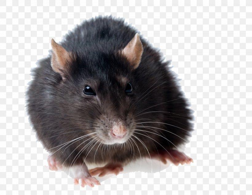 Brown Rat Black Rat Rodent Mouse Pest Control, PNG, 1968x1526px, Brown Rat, Black Rat, Fauna, Gerbil, Giant Rat Download Free