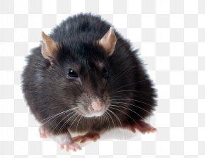 Rat Photos - Brown Rat Black Rat Rodent Mouse Pest Control PNG