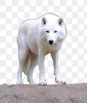 A White Wolf - Bingxue Big World Alaskan Tundra Wolf Greenland Dog Arctic Wolf PNG