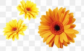 Yellow Chrysanthemum Decoration Material - Flower Carnation Chrysanthemum Xd7grandiflorum Transvaal Daisy Plant PNG