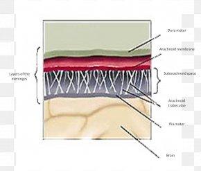 Brain - Gray's Anatomy Meninges Dura Mater Cerebellar Tentorium PNG