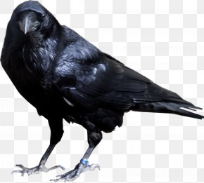 Crow Image - Common Raven American Crow PNG