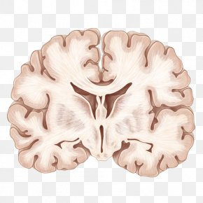 Hand Painted The Human Brain - Coronal Plane Human Brain Neuroanatomy PNG