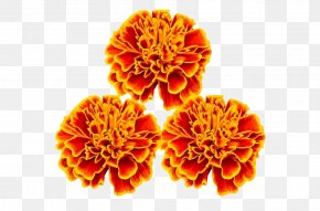Red Marigold - Mexican Marigold Flower Stock Photography PNG