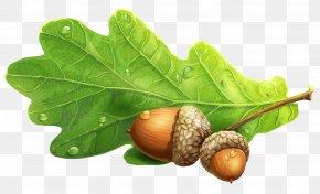 Acorns Clipart Picture - Acorn Clip Art PNG