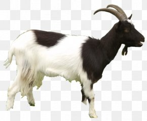 Fabruary 14 - Black Bengal Goat Mountain Goat Sheep Clip Art PNG
