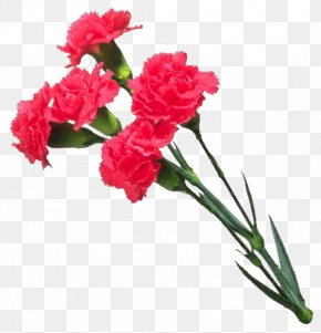 Flower - Carnation Cut Flowers Mother's Day PNG