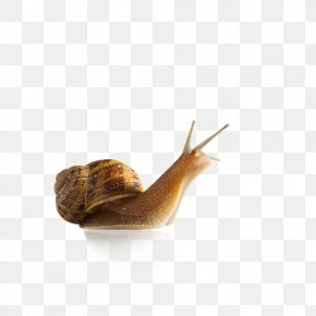 Snails - Snail Slug Seashell Gastropod Shell Stock Photography PNG