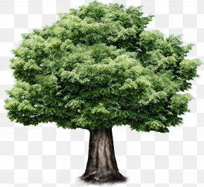 Tree,Greenery - Tree PNG