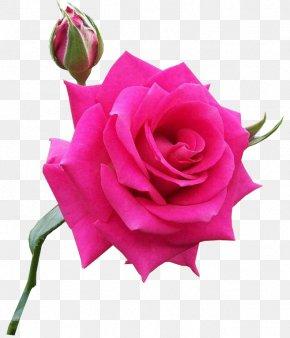 Rosa - Centifolia Roses Pink Flower Rosa Chinensis PNG