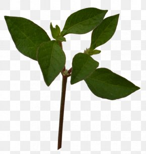 Plant Leaves - Plant Leaves Leaf PNG
